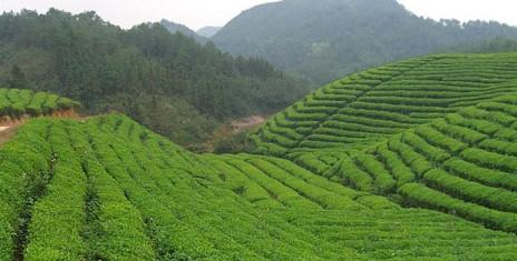 """千年""""茯茶""""被唤醒 咸阳将做大茯茶品牌"""
